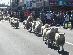 English: Picture of the Running of the Sheep i...