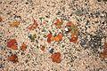 Teguise Caleta de Famara - Mesembryanthemem crystallinum 01 ies.jpg