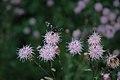 Thalictrum aquilegiifolium (7277943832).jpg
