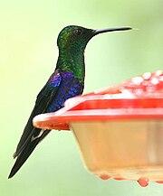 Thalurania fannyi (male) -NW Ecuador-.jpg