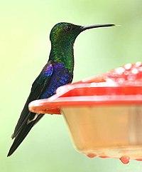 Thalurania fannyi (male) -NW Ecuador-