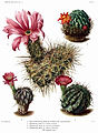 The Cactaceae Vol III, plate V filtered.jpg