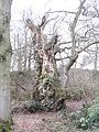 The Quarry Oak - largest sessile oak in England^ Feb 2012 - panoramio.jpg
