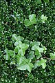 The holly and the ivy - geograph.org.uk - 723060.jpg