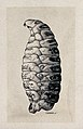 The larva of the sheep nostril fly (Oestrus ovis). Drawing b Wellcome V0022586EL.jpg