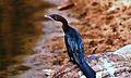 The little cormorant.jpg