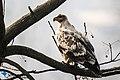 The steppe eagle (Aquila nipalensis) - l66.jpg