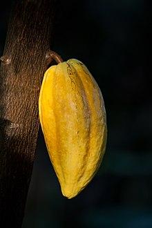 Px Theobroma Cacao Fruit C Botanical Garden C Hamburg Img Edit