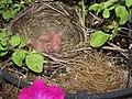 They hatched -- we've got baby birds (3643405045).jpg