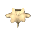 Thoracic vertebra 9 close-up posterior surface.png