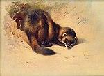 Thorburn Polecat.jpg