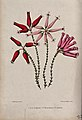 Three types of heath plant (Erica species); flowering stems. Wellcome V0044468.jpg