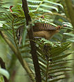 Thryothorus longirostris.jpg