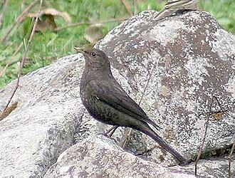 Birds of South Asia. The Ripley Guide - Tibetan blackbird