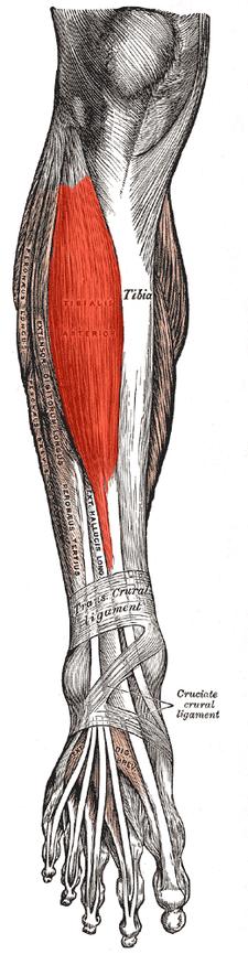 musculus tibialis anterior