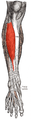 Tibialis anterior 2.png