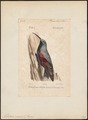 Tichodroma muraria - 1842-1848 - Print - Iconographia Zoologica - Special Collections University of Amsterdam - UBA01 IZ19200371.tif