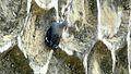Tichodroma muraria nepalensis 1.jpg