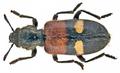 Tilloidea transversalis (Charpentier, 1825) (15985529998).png