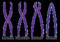 Tipos de cromossomos.png