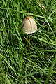 Toadstool in a field at Hartpury - geograph.org.uk - 932514.jpg