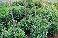 Tomatoes in Veggie Garden.jpg