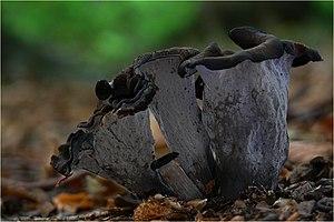Cantharellales - Image: Totentrompeten Herbsttrompeten