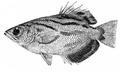 Toxotes blythii (Fauna of British India, 1889).png