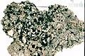 Trapeliopsis granulosa.jpg