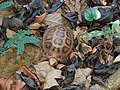 Travancore tortoise 20190519 130058.jpg