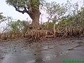 Tree-in Kuakata Bangladesh 3.jpg