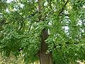 Tree Gingko Biloba.jpg
