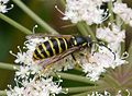 Tree Wasp. Dolichovespula sylvestris - Flickr - gailhampshire.jpg