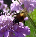 Tree bumblebee (Bombus hypnorum) on scabious, Sandy, Bedfordshire (7742424296).jpg