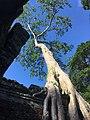 Tree in Preah Khan.jpg