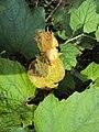 Trichosanthes tricuspidata var. tomentosa 1.JPG