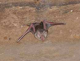 Trident leaf-nosed bat (Asellia tridens) - Temple of Isis (14467430991a).jpg