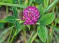 Trifolium medium in Avoriaz (1).jpg
