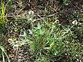 Trifolium montanum (subsp. montanum) sl2.jpg