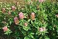 Trifolium pratense 04.JPG