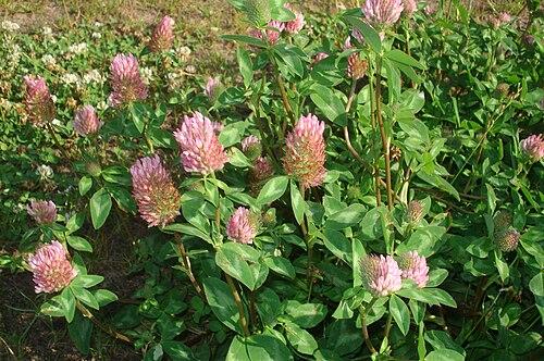 500px trifolium pratense 04