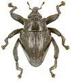 Trigonopterus dromedarius holotype - ZooKeys-280-001-g024.jpg