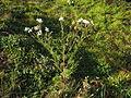 Tripleurospermum maritimum subsp inodorum plant8 (16192666347).jpg