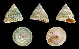 <i>Trochus</i> genus of molluscs