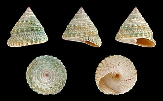 Trochus - Five views of a shell of Trochus maculatus