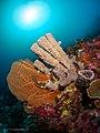 Tube sponge (36161090952).jpg