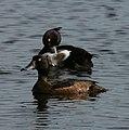 Tufted Duck and Drake - Athya fuligula - geograph.org.uk - 1373124.jpg