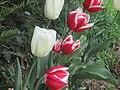 Tulipes dans l'Yonne.jpg
