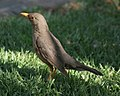 Turdus smithi (Karoo Thrush) on lawn (crop).jpg