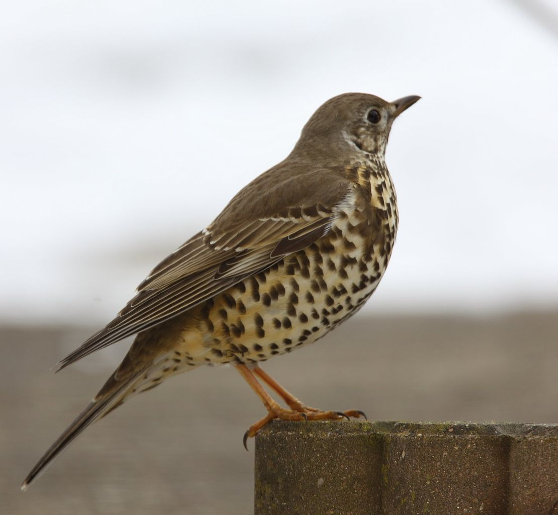 http://upload.wikimedia.org/wikipedia/commons/thumb/6/64/Turdus_viscivorus_-Netherlands-8.jpg/1109px-Turdus_viscivorus_-Netherlands-8.jpg